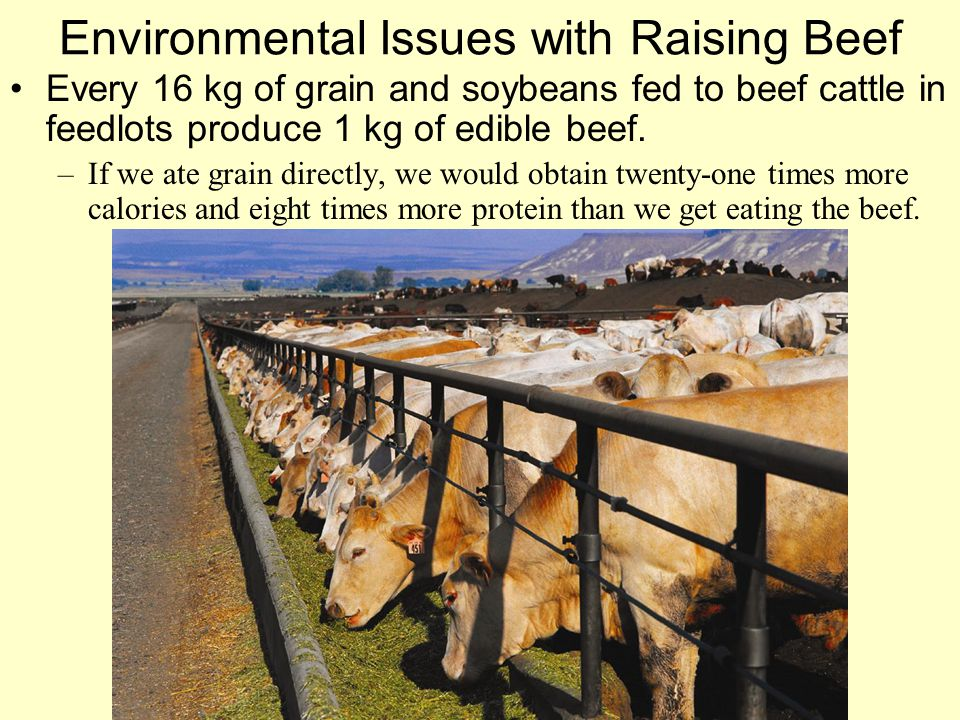 Environmental Issues with Raising Beef Every 16 kg of grain and soybeans fed to beef cattle in feedlots produce 1 kg of edible beef. –If we ate grain