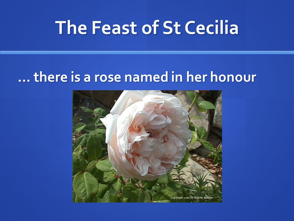 The Feast of St Cecilia … there is a rose named in her honour
