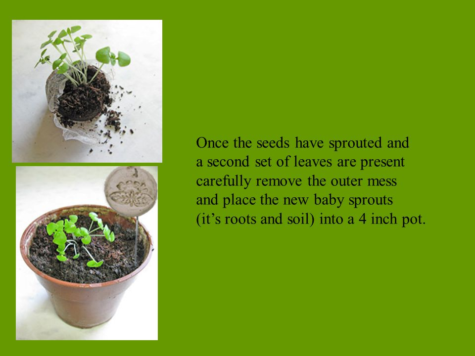 Once the seeds have sprouted and a second set of leaves are present carefully remove the outer mess and place the new baby sprouts (it's roots and soi