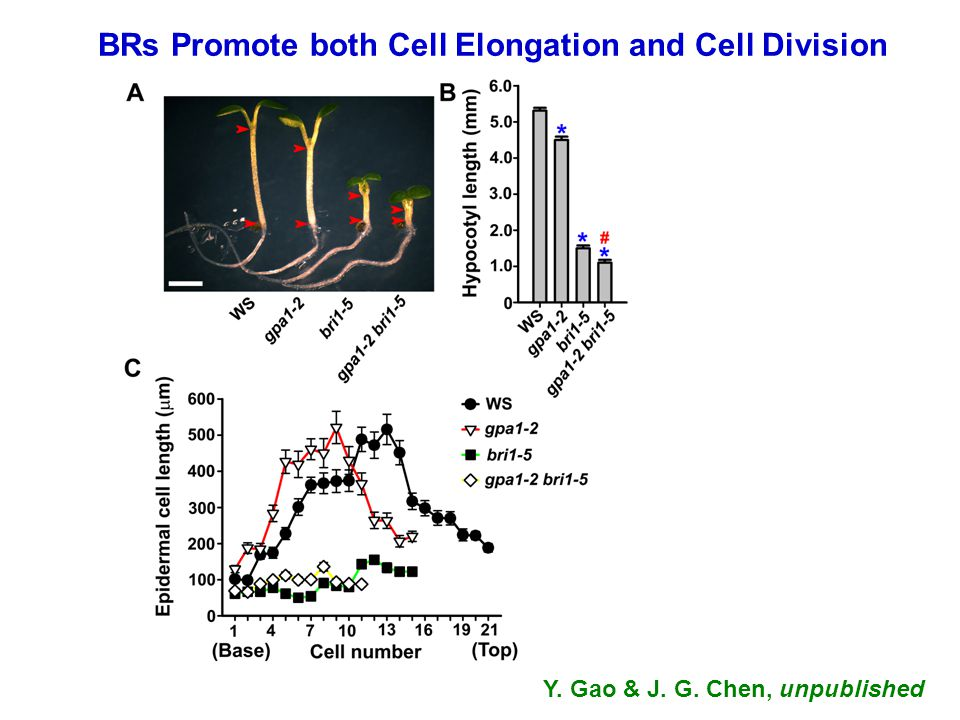 BRs Promote both Cell Elongation and Cell Division Y. Gao & J. G. Chen, unpublished