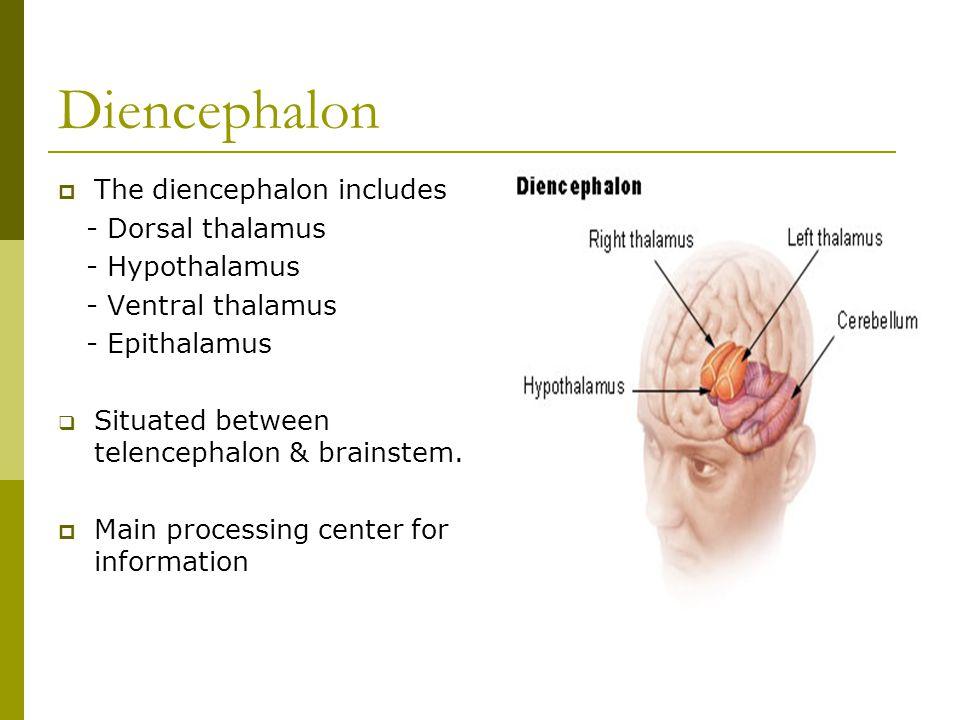 Diencephalon  The diencephalon includes - Dorsal thalamus - Hypothalamus - Ventral thalamus - Epithalamus  Situated between telencephalon & brainste