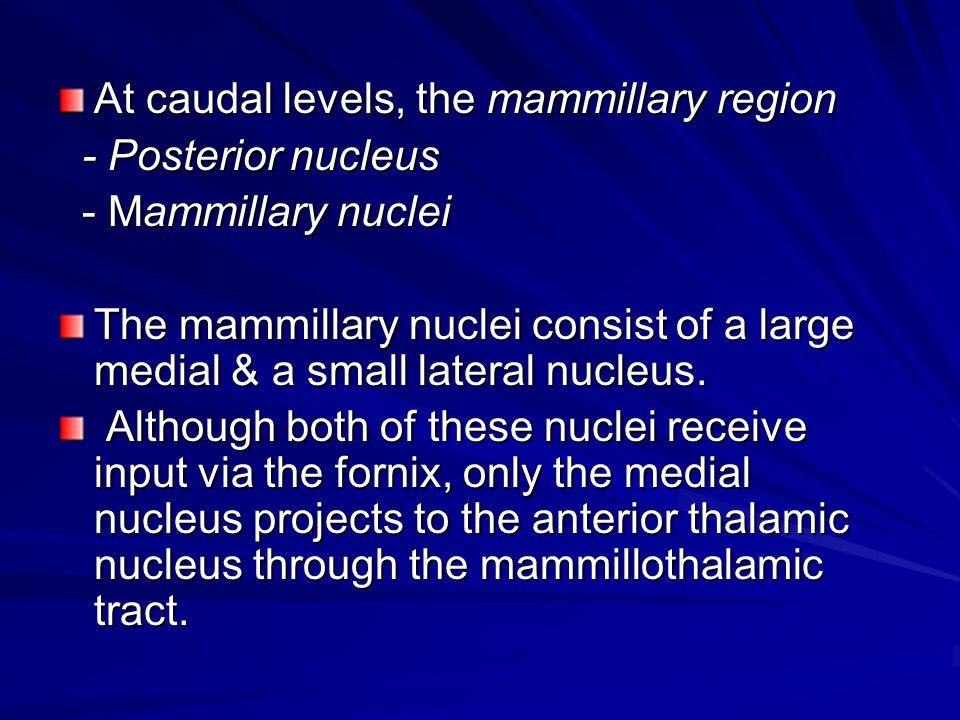 At caudal levels, the mammillary region - Posterior nucleus - Posterior nucleus - Mammillary nuclei - Mammillary nuclei The mammillary nuclei consist