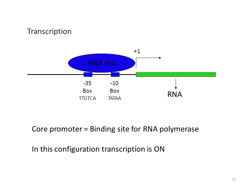 Box TATAA -35 Box TTGTCA RNA Core promoter = Binding site for RNA polymerase In this configuration transcription is ON RNA Pol Transcription 13