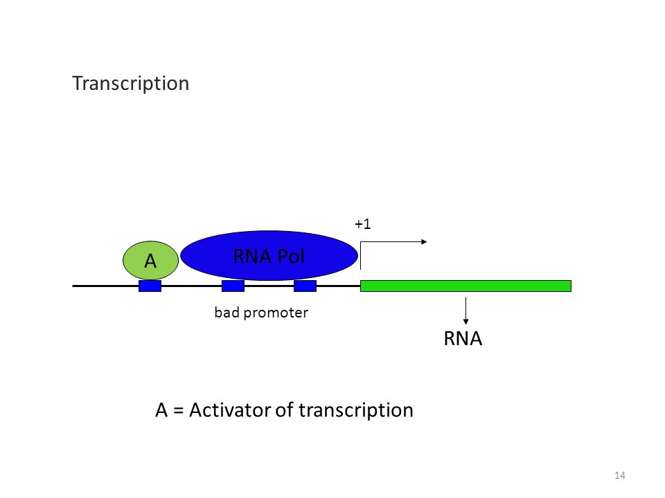RNA +1 RNA Pol A A = Activator of transcription bad promoter Transcription 14