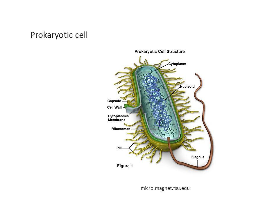 micro.magnet.fsu.edu Prokaryotic cell