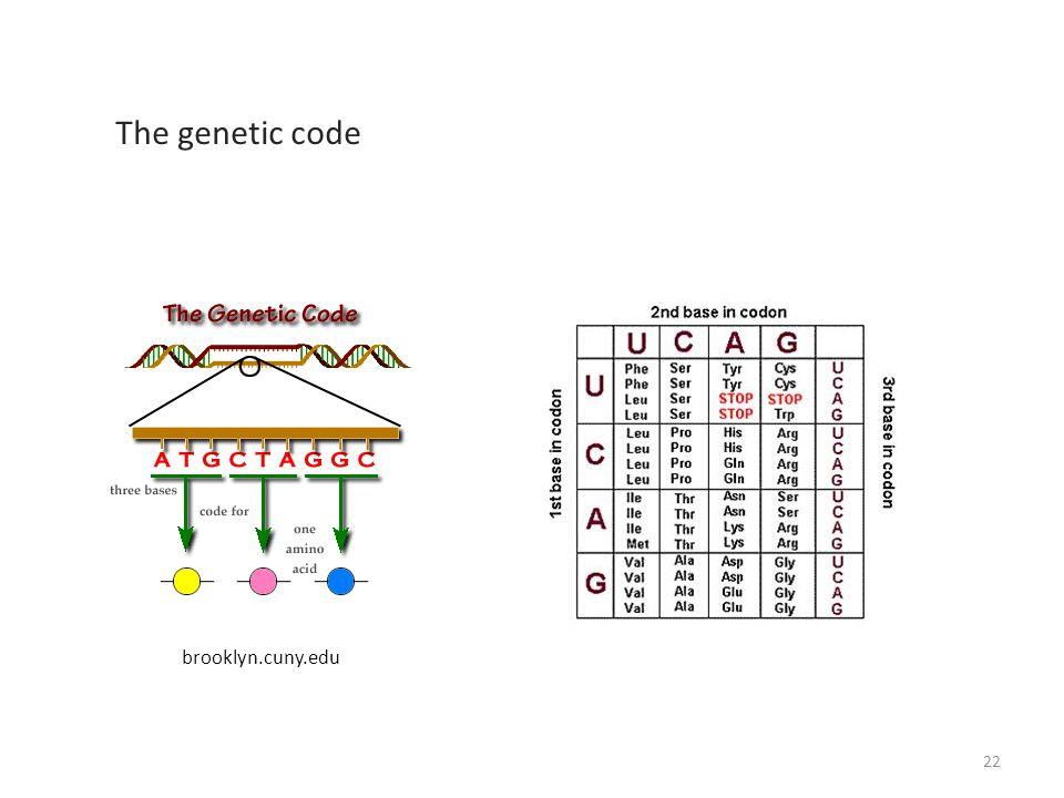 brooklyn.cuny.edu The genetic code 22