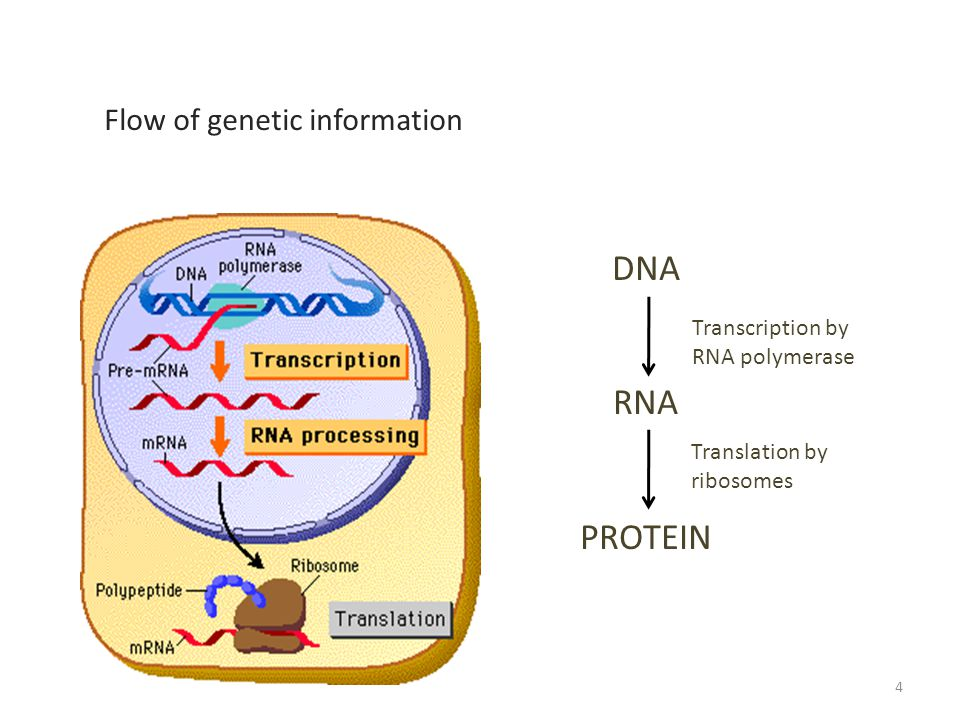DNA RNA PROTEIN Transcription by RNA polymerase Translation by ribosomes Flow of genetic information 4