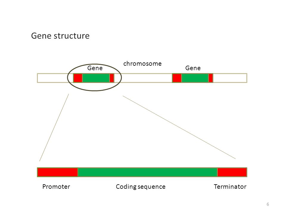 Gene structure Gene Promoter Coding sequenceTerminator chromosome 6
