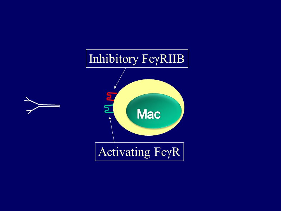 Inhibitory FcγRIIB Activating FcγR