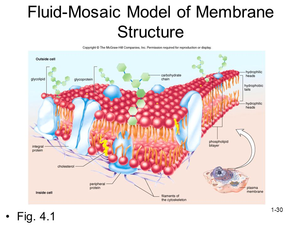 1-30 Fluid-Mosaic Model of Membrane Structure Fig. 4.1