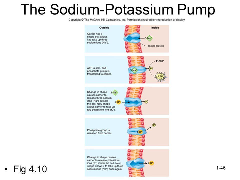 1-46 The Sodium-Potassium Pump Fig 4.10
