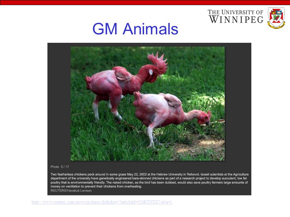 Advantages of GM Foods… Pest resistance –Crop loss due to insets  financial loss to farmers –So, farmers use tons of pesticides/fertilizers annually –GM eliminates pesticides and thus ↓ cost of production Disease resistance –Viruses, fungi, bacteria  plant diseases –GM crops resistance to these diseases Cold resistance –Frost can destroy sensitive seedlings –Antifreeze gene from cold fish  tobacco and potatoes