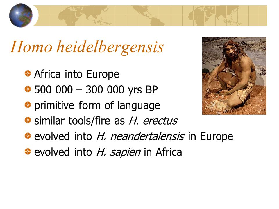 Homo heidelbergensis Africa into Europe 500 000 – 300 000 yrs BP primitive form of language similar tools/fire as H. erectus evolved into H. neanderta