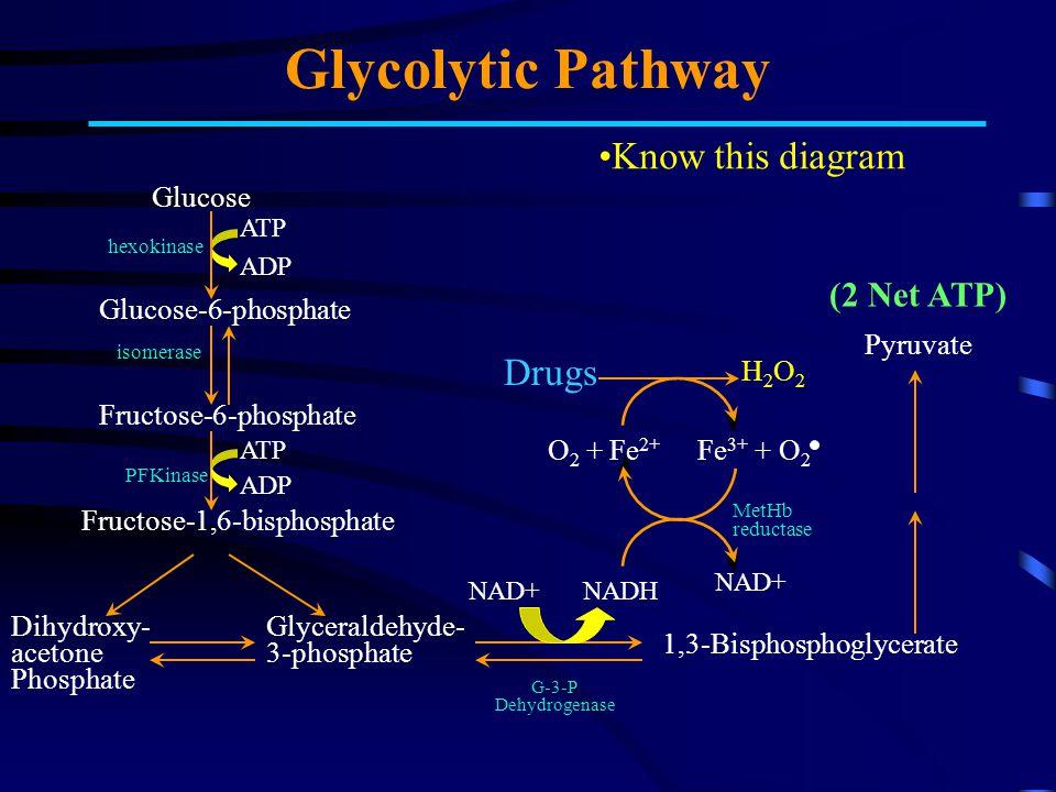 PMP Generation of NADPH Glucose Glucose- 6-phosphate 6-Phosphogluconate Ribose-5-phosphate Fructose-6-phosphate Glyceraldehyde-3-phosphate + Glyceraldehyde- 3-phosphate Pentose Shunt ATPADP G6P Dehydrogenase NADPH NADP+ GSSG GSH reductase NADPH NADP+ H2OH2O H2O2H2O2 O2O2 Catalase Know this diagram