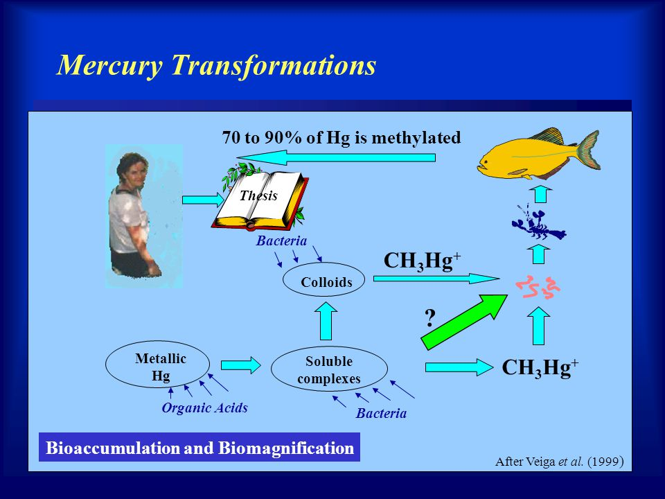 After Veiga et al. (1999 ) Bioaccumulation and Biomagnification Mercury Transformations 70 to 90% of Hg is methylated Bacteria Metallic Hg Organic Aci