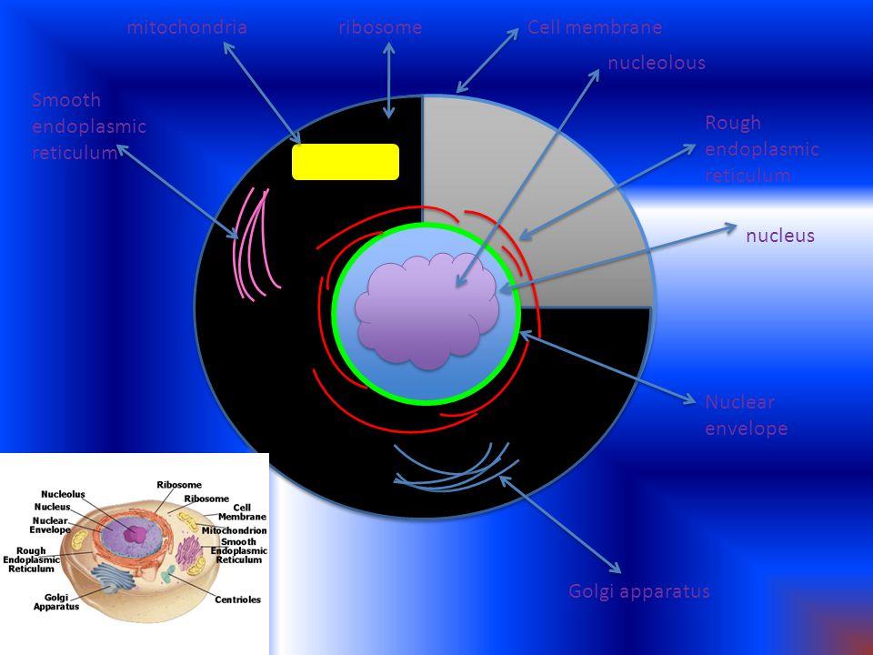Smooth endoplasmic reticulum mitochondriaribosomeCell membrane nucleolous Rough endoplasmic reticulum nucleus Nuclear envelope Golgi apparatus