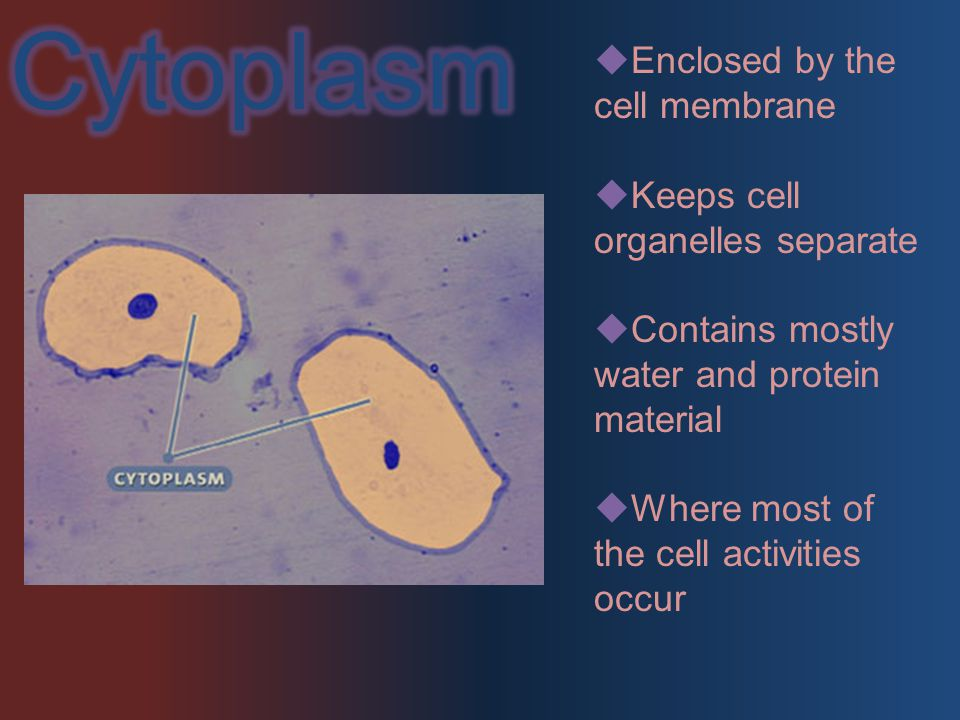  Enclosed by the cell membrane  Keeps cell organelles separate  Contains mostly water and protein material  Where most of the cell activities occur