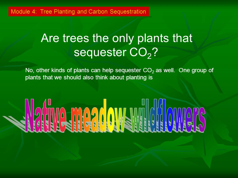 Are trees the only plants that sequester CO 2 .