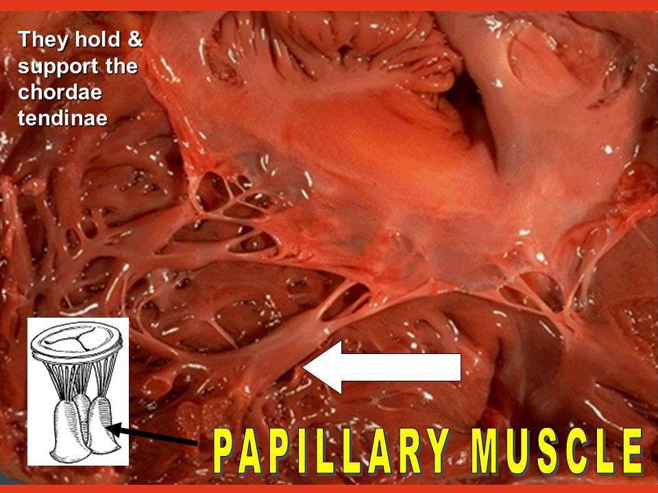 Tendon-like pieces of tissue They keep the AV valves from inverting when the ventricles contract