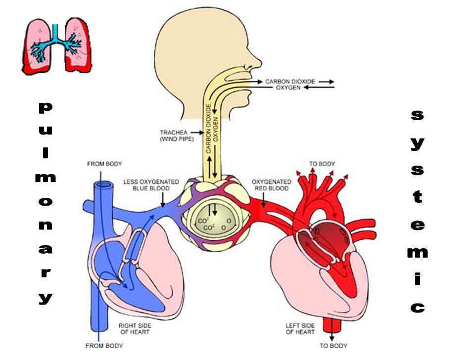 HEMOGLOBIN OXYHEMOGLOBIN The protein HEMOGLOBIN binds the O 2 tightly and carries it to the body cells as OXYHEMOGLOBIN!