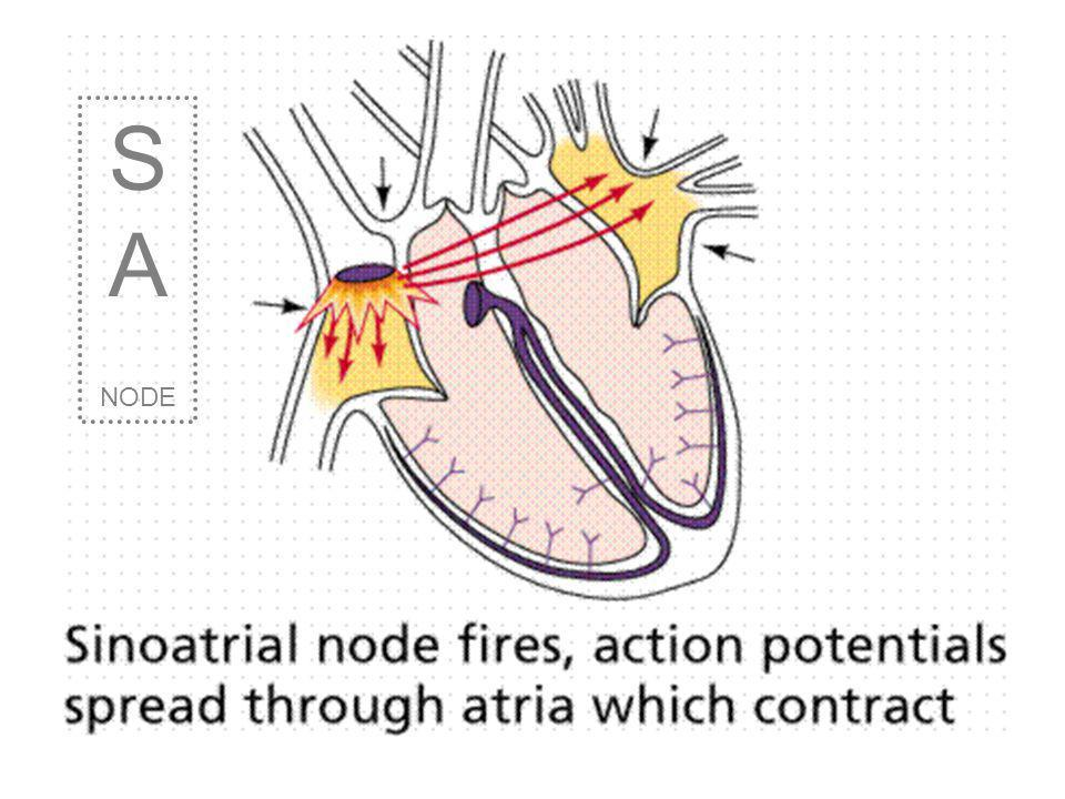 SA NODE The SA NODE (sino-atrial) right atrium This node is found along the wall of the right atrium chamber. 0.85 seconds It fires on average, every