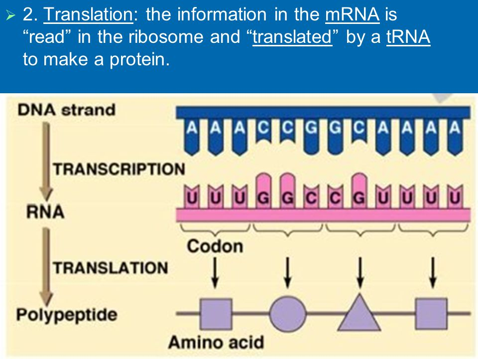 Try Transcribing this piece of DNA into mRNA