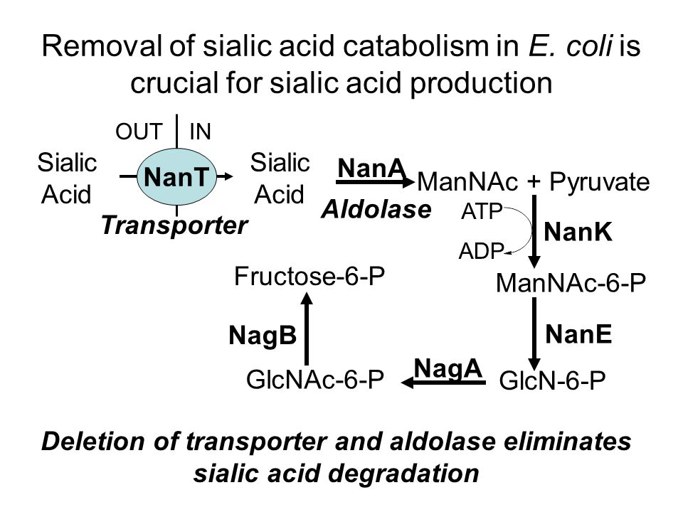 Sialic Acid Sialic Acid ManNAc + Pyruvate ManNAc-6-P GlcNAc-6-P GlcN-6-P Fructose-6-P NanA NanK NanE NagA NagB NanT OUTIN Removal of sialic acid catabolism in E.