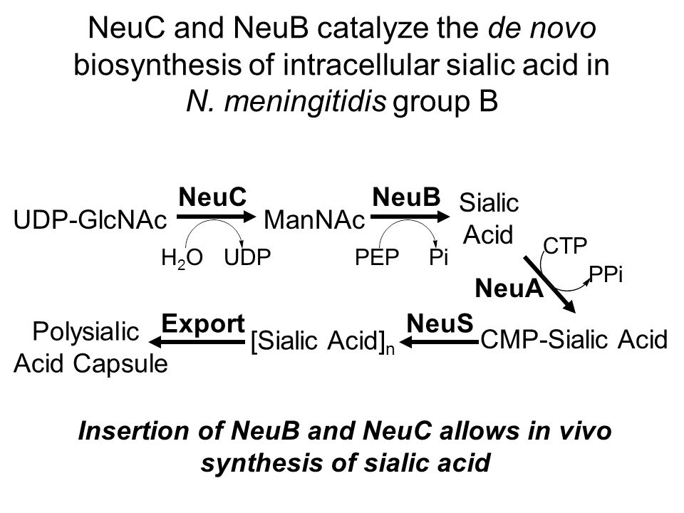 NeuC and NeuB catalyze the de novo biosynthesis of intracellular sialic acid in N.