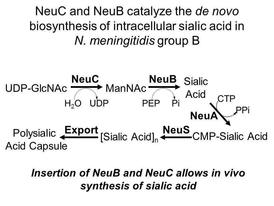 Glucosamine synthase increases the synthesis of key metabolite for sialic acid biosynthesis Fru-6-P GlcN-6-PGlcN-1-P GlcNAc-1-PUDP-GlcNAc GlmS GlnGlu GlmM Ac-CoA CoA GlmU UTPPPi NeuBC pathway Sialic Acid Increases production of sialic acid from low-cost feedstocks
