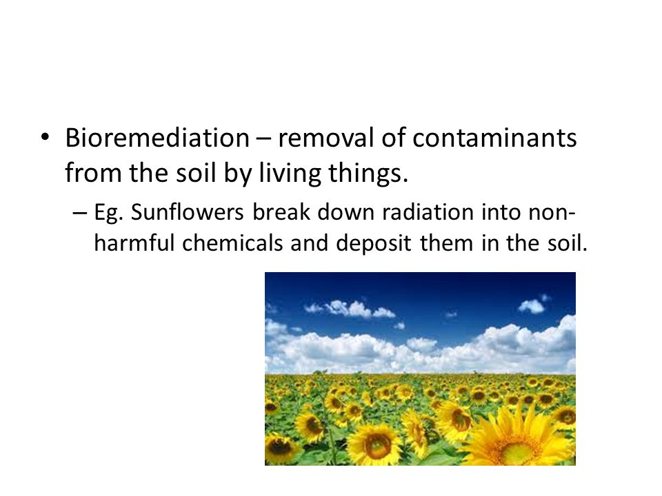Bioremediation – removal of contaminants from the soil by living things. – Eg. Sunflowers break down radiation into non- harmful chemicals and deposit