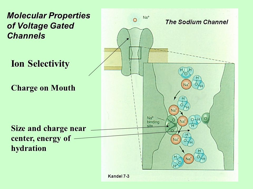 Molecular Properties of Voltage Gated Channels Ion Selectivity Charge on Mouth Size and charge near center, energy of hydration The Sodium Channel Kandel 7-3