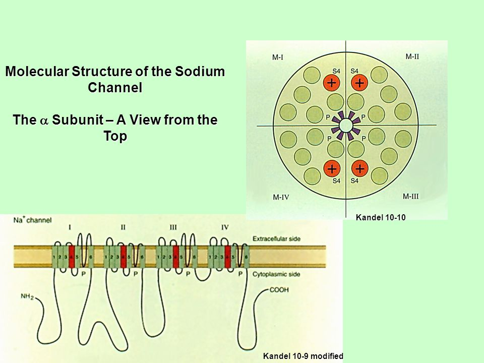 Kandel 10-9 modified Molecular Structure of the Sodium Channel The  Subunit – A View from the Top Kandel 10-10
