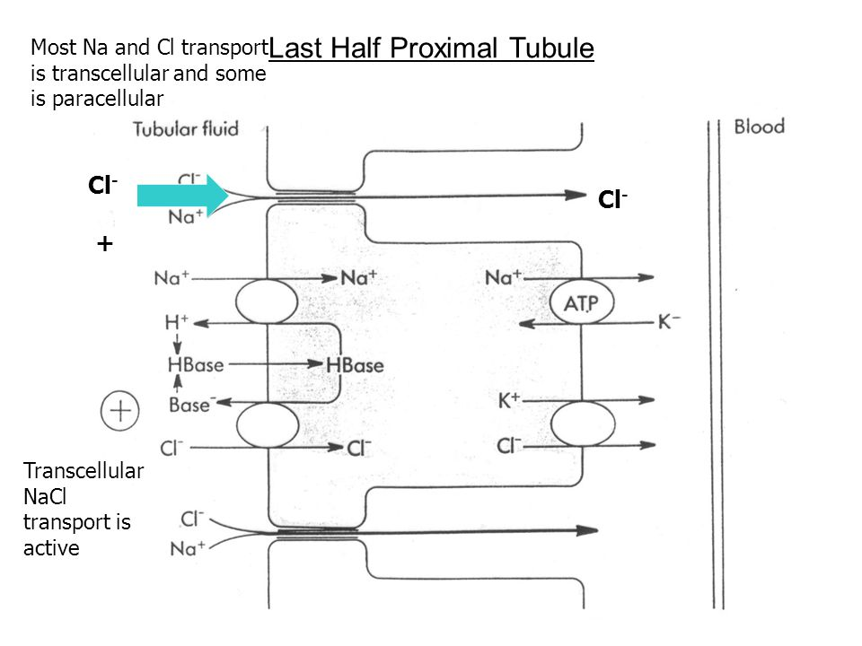 Last Half Proximal Tubule Most Na and Cl transport is transcellular and some is paracellular Transcellular NaCl transport is active Cl - +