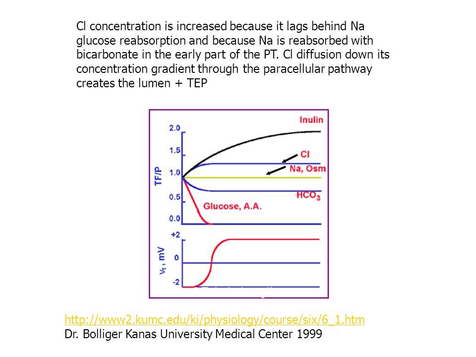 http://www2.kumc.edu/ki/physiology/course/six/6_1.htm Dr. Bolliger Kanas University Medical Center 1999 Proximal Tubule Length Cl concentration is inc