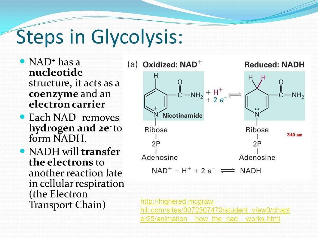 Steps in Glycolysis: NAD + has a nucleotide structure, it acts as a coenzyme and an electron carrier Each NAD + removes hydrogen and 2e - to form NADH.