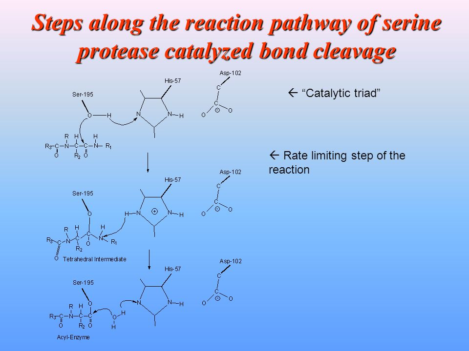Steps along the reaction pathway of serine protease catalyzed bond cleavage  Rate limiting step of the reaction  Catalytic triad