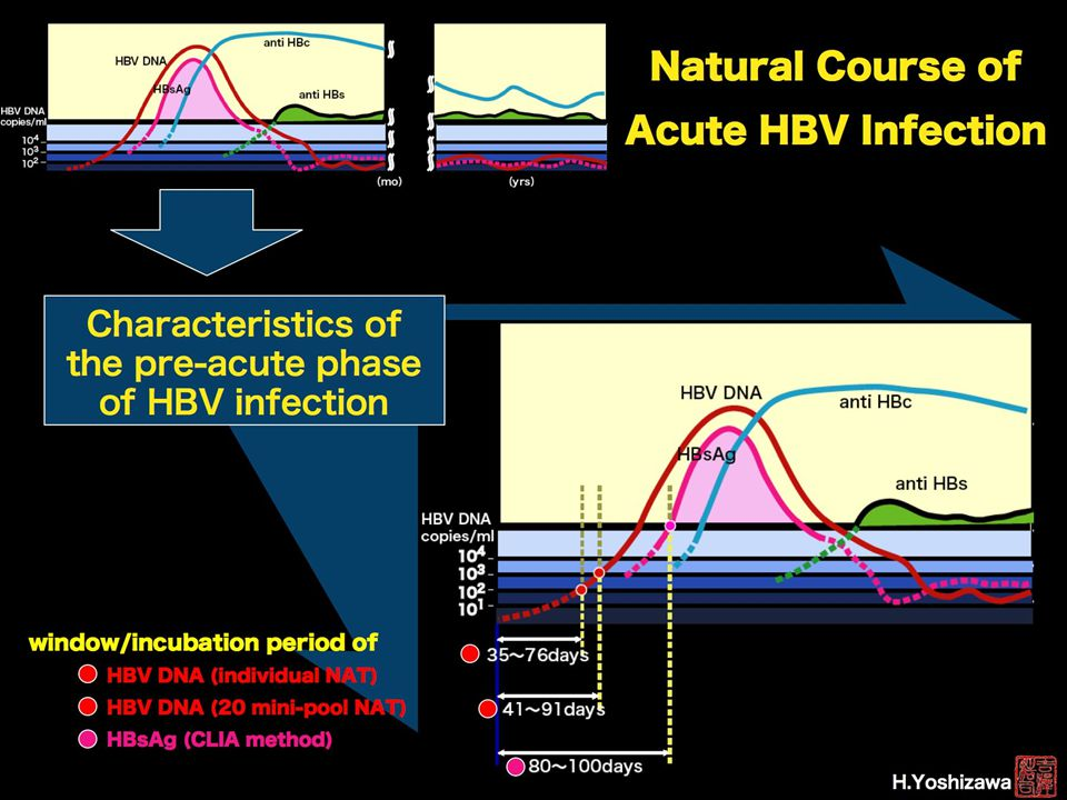 Hepatitis B NAT virus-positive blood donors in the early and late stages of HBV infection: analyses of the window period and kinetics of HBV DNA Yoshikawa et al Vox Sanguinis 88 (2), 77-86.