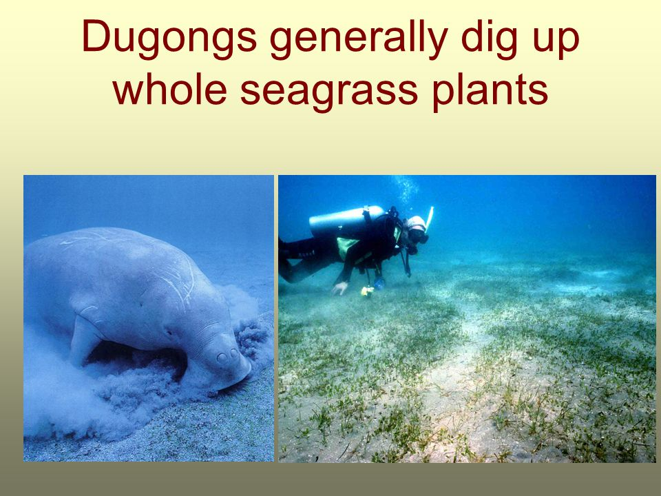 Dugongs generally dig up whole seagrass plants