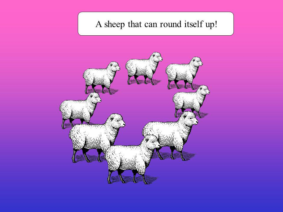 A sheep that can round itself up!