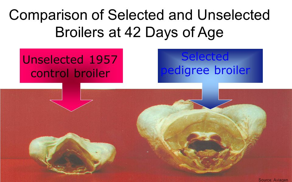 Comparison of Selected and Unselected Broilers at 42 Days of Age Unselected 1957 control broiler Selected pedigree broiler Source: Aviagen