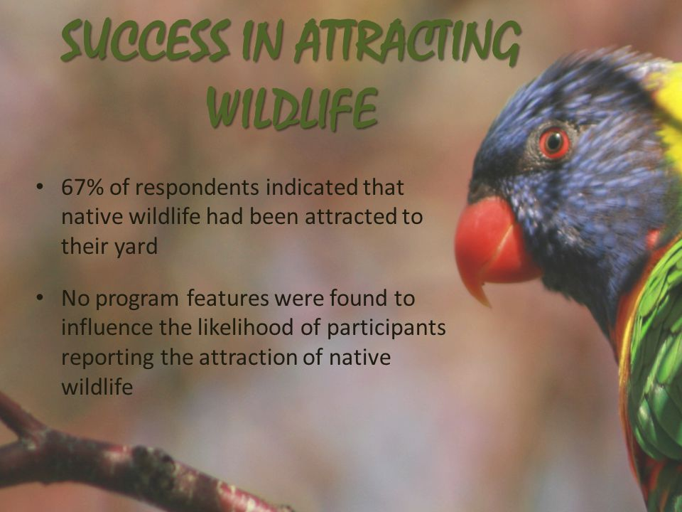 SUCCESS IN ATTRACTING WILDLIFE 67% of respondents indicated that native wildlife had been attracted to their yard No program features were found to influence the likelihood of participants reporting the attraction of native wildlife