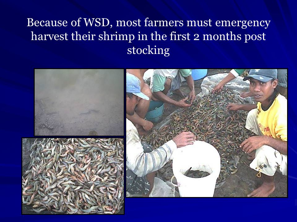 Because of WSD, most farmers must emergency harvest their shrimp in the first 2 months post stocking