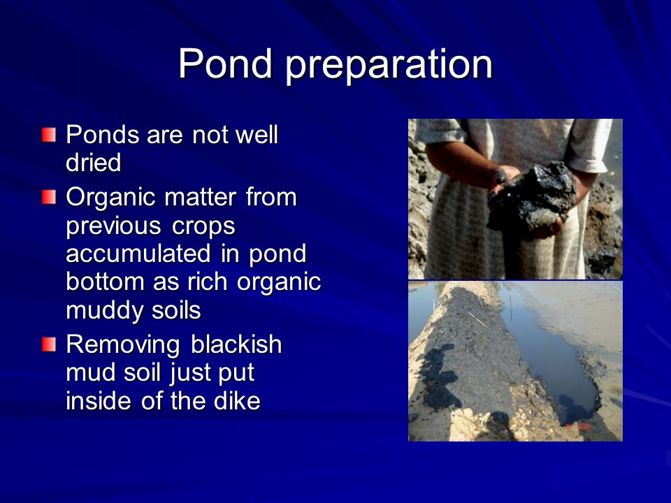 Pond preparation Ponds are not well dried Organic matter from previous crops accumulated in pond bottom as rich organic muddy soils Removing blackish