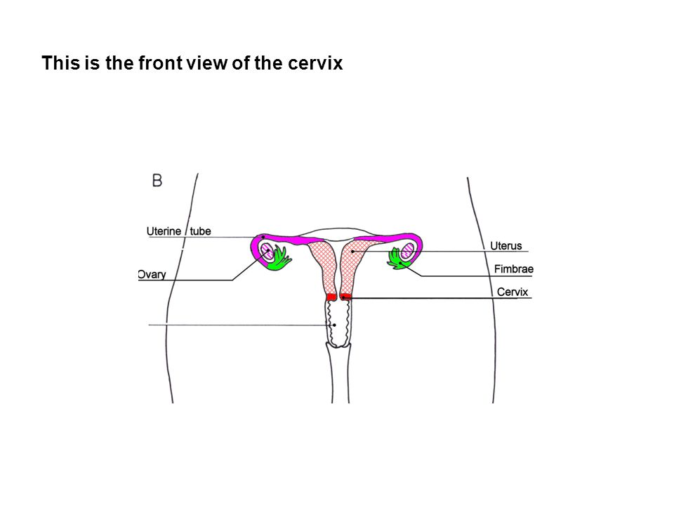 This is the front view of the cervix
