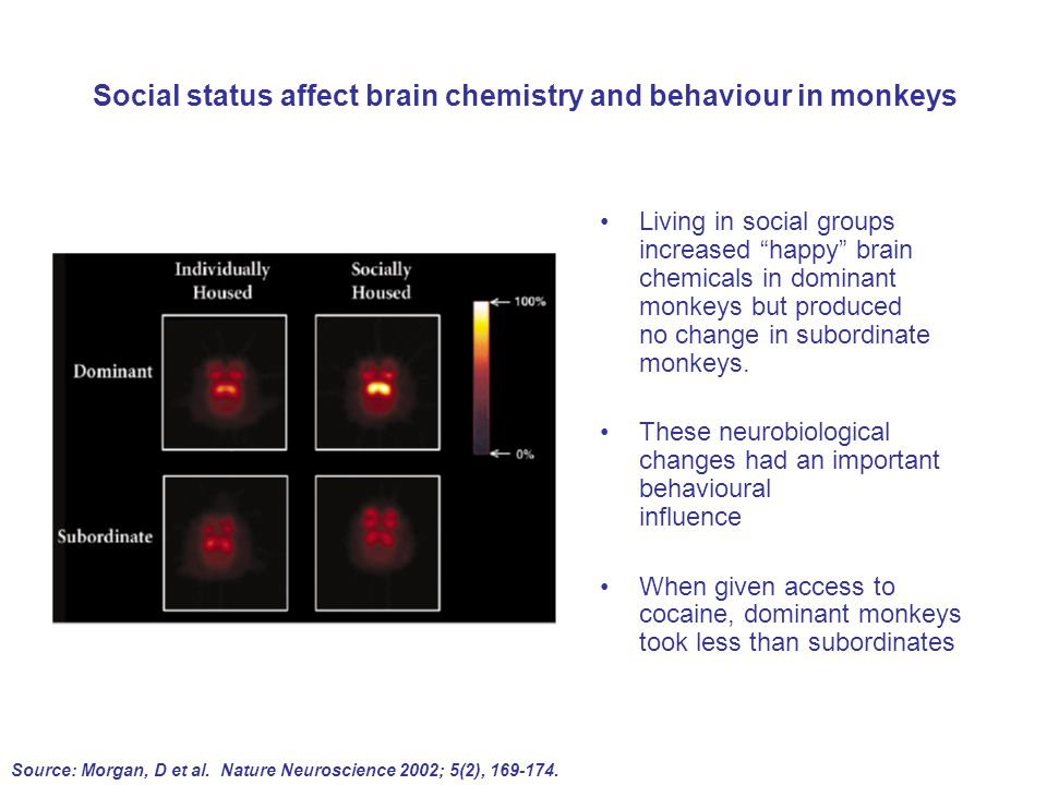 Social status affect brain chemistry and behaviour in monkeys Living in social groups increased happy brain chemicals in dominant monkeys but produced no change in subordinate monkeys.