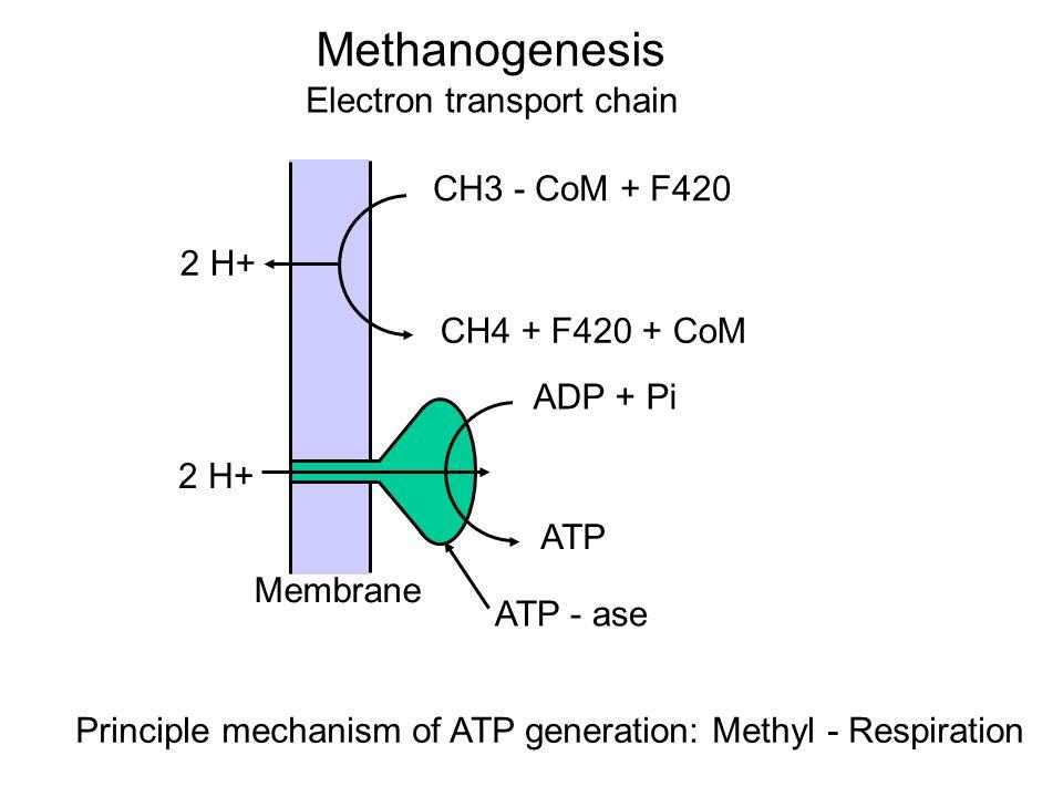 Methanogenesis Electron transport chain CH3 - CoM + F420 CH4 + F420 + CoM 2 H+ ADP + Pi ATP ATP - ase Membrane Principle mechanism of ATP generation: Methyl - Respiration 2 H+