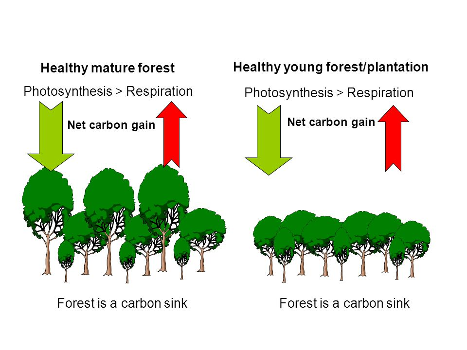 Drivers of tree carbon change Photosynthesis > Respiration Net carbon gain Healthy mature forest Healthy young forest/plantation Photosynthesis > Respiration Net carbon gain Forest is a carbon sink
