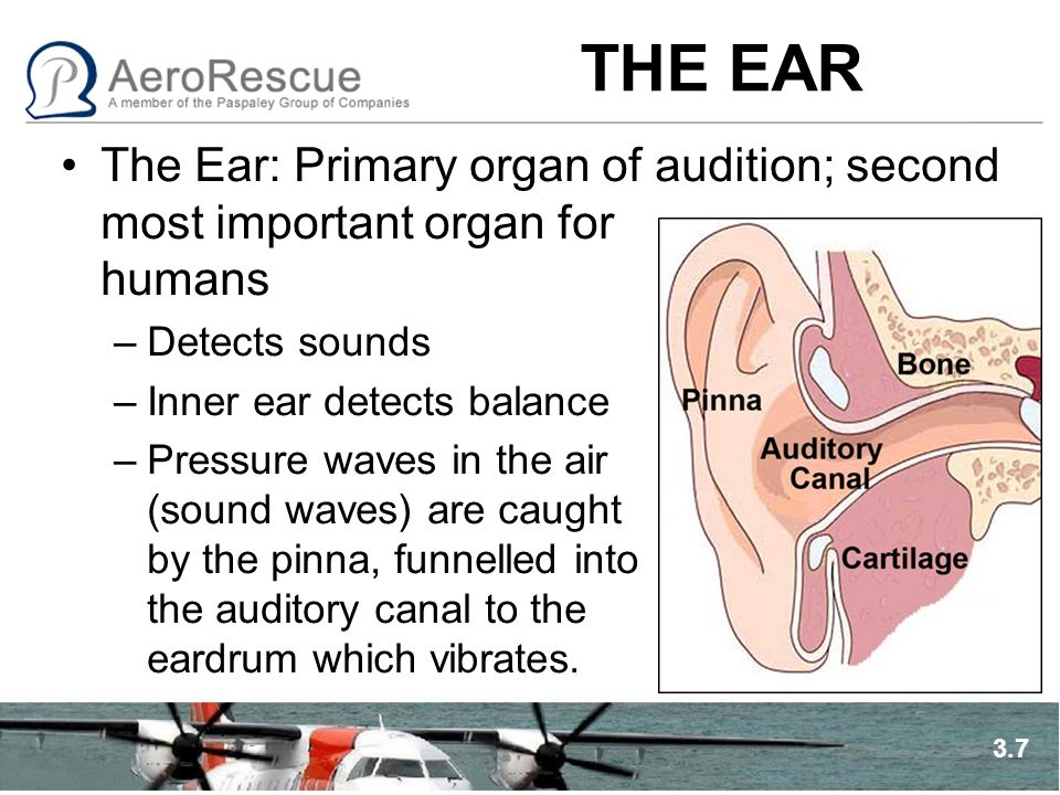 THE EAR The Ear: Primary organ of audition; second most important organ for humans –Detects sounds –Inner ear detects balance –Pressure waves in the a