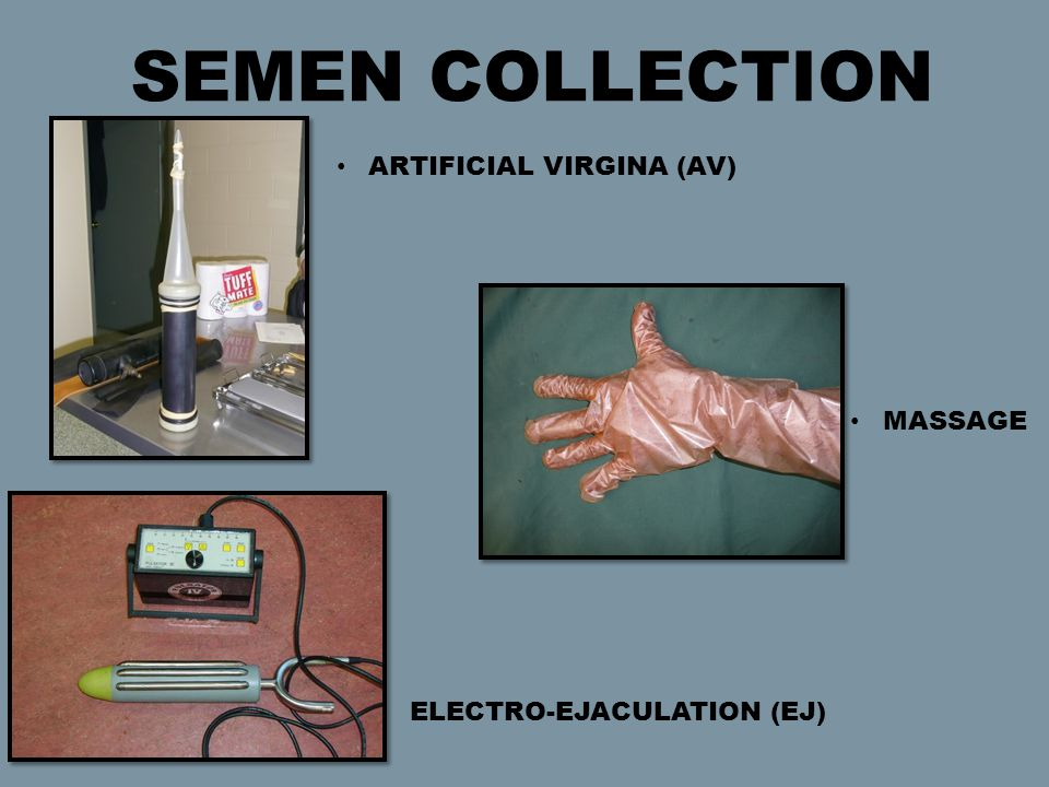 ARTIFICIAL VIRGINA (AV) SEMEN COLLECTION ELECTRO-EJACULATION (EJ) MASSAGE