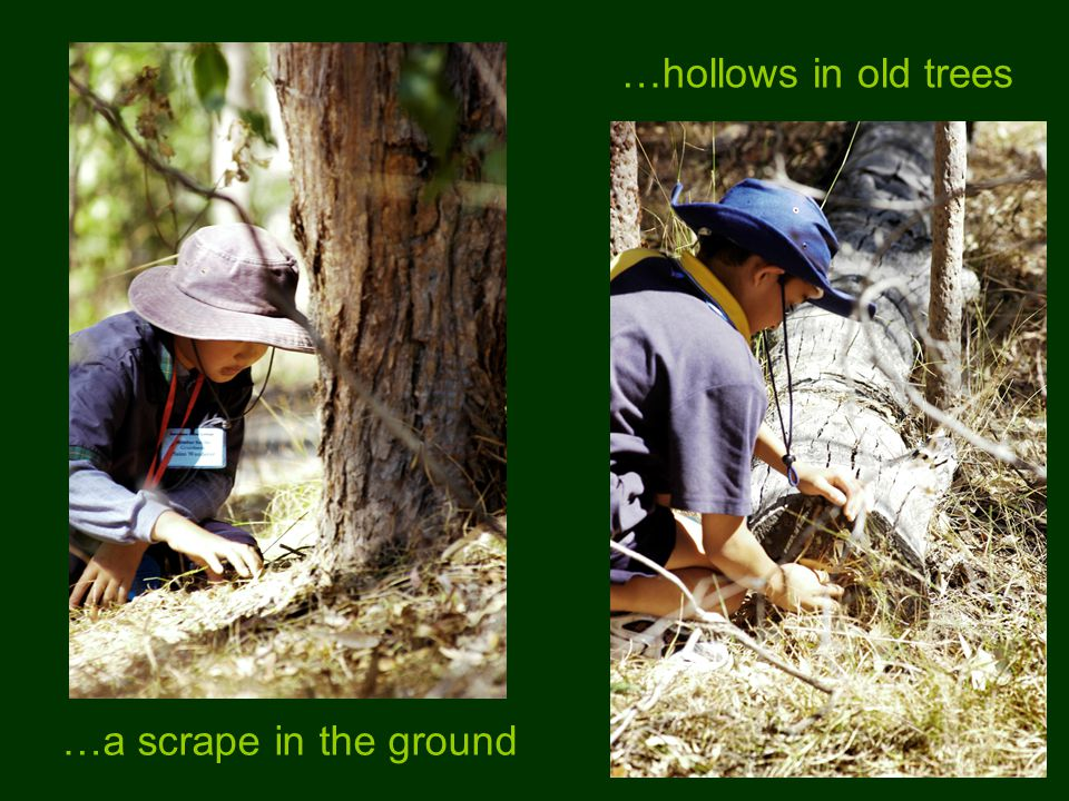 …a scrape in the ground …hollows in old trees